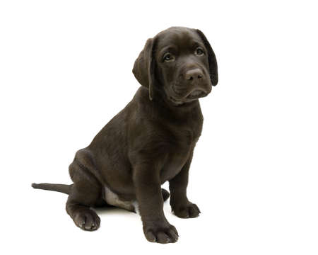 2 0: Puppy Labrador retriever chocolate color (age 2,0 months) on a white background. horizontal photo.