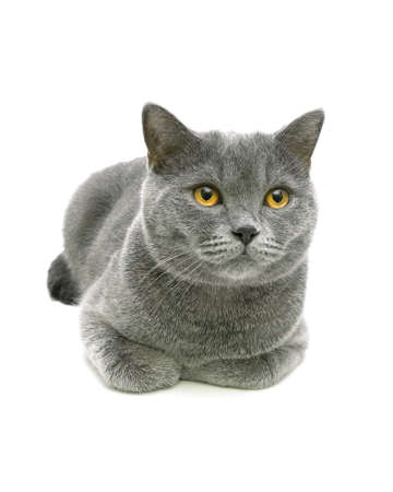 beautiful gray cat with yellow eyes isolated on a white background close-up. Vertical photo. photo
