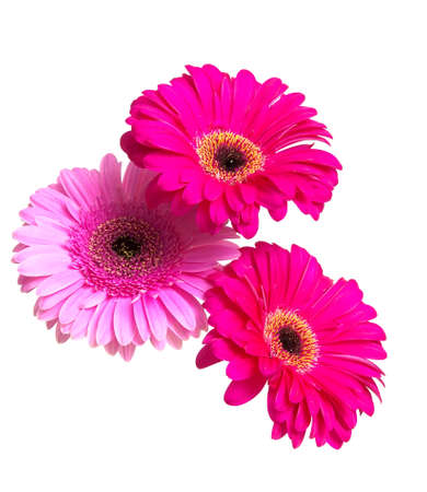 Three beautiful gerbera flower isolated on white background close-up. vertical photo. photo
