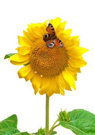 Butterfly sitting on a sunflower isolated on a white background. vertical photo. photo