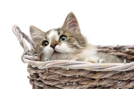 fluffy kitten lying in a basket on a white background photo