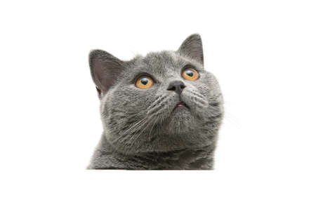 head of gray cat with yellow eyes closeup isolated on a white background