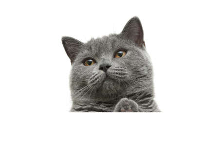 cat with yellow eyes sits behind a white banner and looking up. white background - horizontal photo. photo