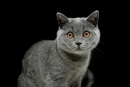 scottish straight: gray cat with yellow eyes on a black background. horizontal photo.