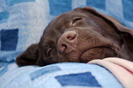 chocolate labrador retriever: chocolate labrador retriever nose close-up. horizontal photo. Stock Photo