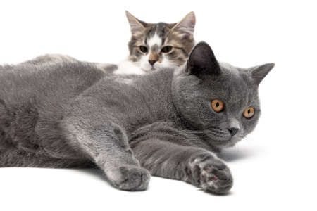 two cats lying on a white background close-up. horizontal photo. photo
