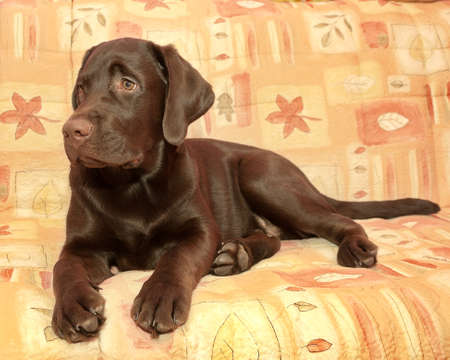 chocolate labrador: puppy chocolate Labrador Retriever (age 5,0 months) lying on the couch. horizontal photo. Stock Photo