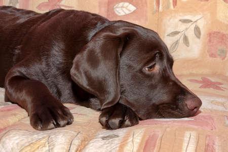 chocolate labrador retriever: chocolate labrador retriever puppy Stock Photo