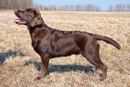 Chocolate labrador retriever puppy (age 7,0 months). Horizontal photo.
