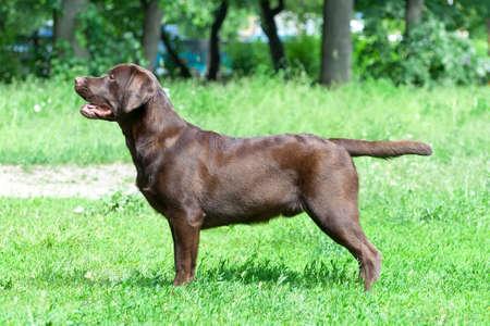 Chocolate labrador retriever (age 9,0 months). Horizontal photo. Stock Photo