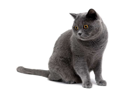 isolated on gray: gray cat with yellow eyes isolated on a white background. horizontal photo. Stock Photo