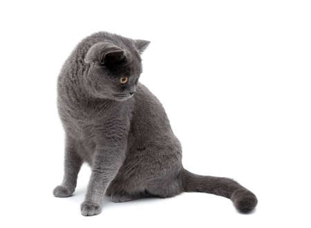 isolated on gray: gray cat isolated on white background. horizontal photo. Stock Photo