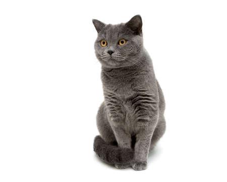 cat isolated: gray cat isolated on white background close up. horizontal photo.