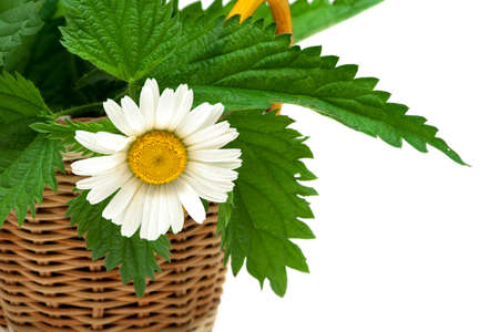 Chamomile flower and leaves of nettle on white background. horizontal photo.