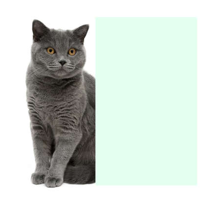 gray cat sitting behind a banner on a white background. horizontal photo.