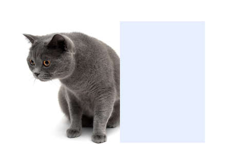 towards: young cat sits near a banner on a white background. horizontal photo.