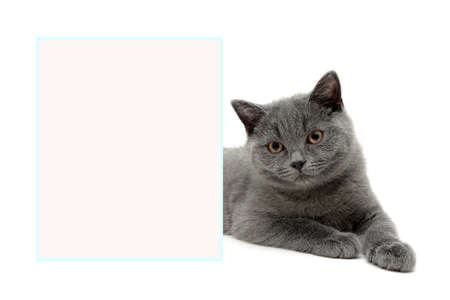 scottish straight: little beautiful kitten lies behind a banner on a white background. horizontal photo. Stock Photo