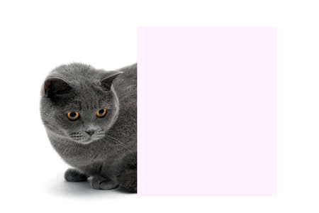 beautiful cat sitting behind a banner on a white background. horizontal photo. Stock Photo