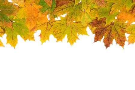 autumn maple leaves on a white background. horizontal photo.