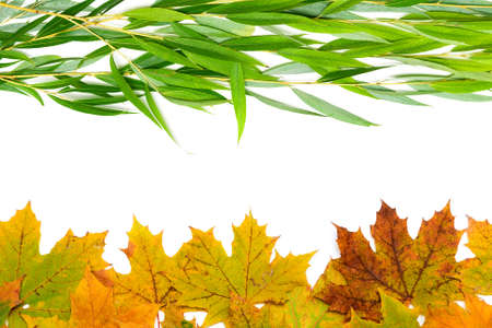 autumn leaves of willow and maple on a white background. horizontal photo.