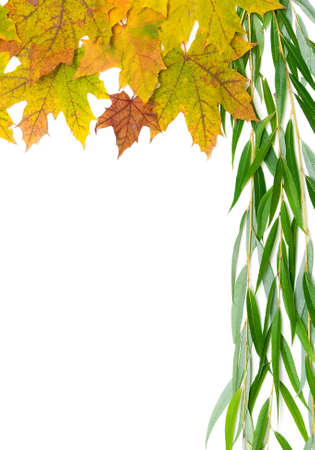 autumn maple leaves and willow branch on a white background. vertical photo.