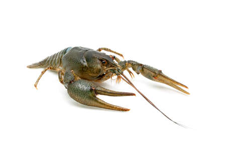 Live crayfish isolated on white background. Horizontal photo.