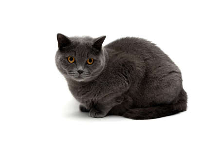 cat breeds Scottish Straight isolated on white background. horizontal photo.