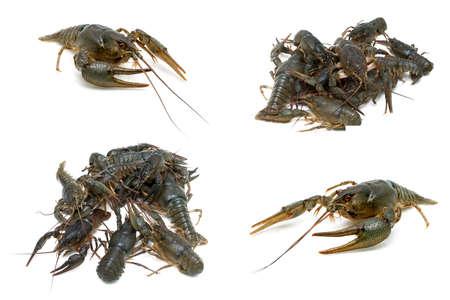 Live crayfish isolated on white background. horizontal photo. Stock Photo