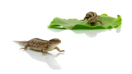 lizard on white background. horizontal photo. Stock Photo