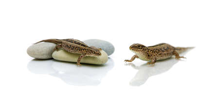 lizard on white background with a reflection. horizontal photo.