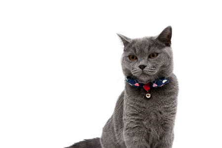 gray cat wearing a collar with bow on a white background. horizontal photo.