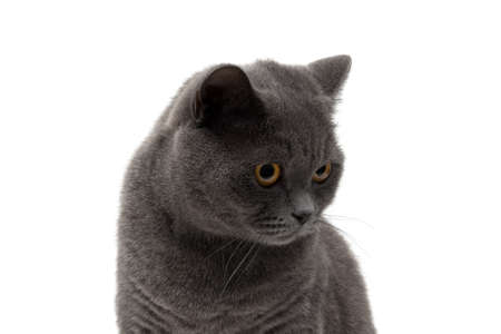 Portrait of a gray cat on a white background. horizontal photo.