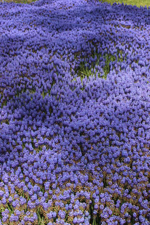 mass blooming of hyacinths at the festival of flowers Stock Photo