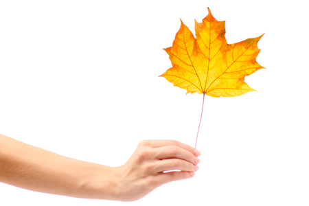 Autumn leaves female hand on white background isolation