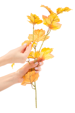 Female hand holding a branch of yellow leaves on a white background isolation Stock Photo
