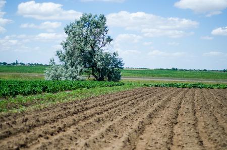 Les rangées pour le semis poussent un arbre continental Banque d'images - 92108746