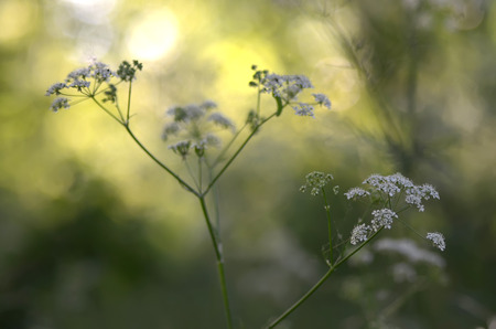 Koepeterselie met spinneweb en spinnen