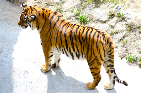 Tiger in the aviary zoo photo above