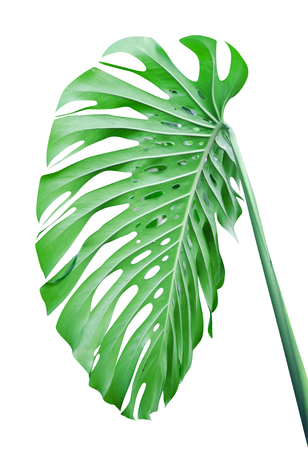 Tropical leaf green photo isolated on white background