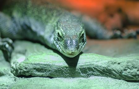 Macro photo of a large lizard in the nursery Stock Photo