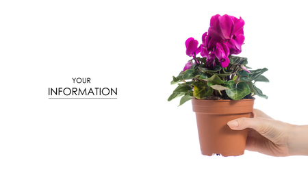 Pink cyclamen in a pot in hand pattern on white background isolation