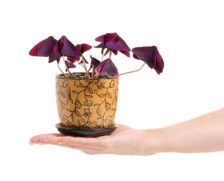 Pot with plant red leaves in hands on white background isolation