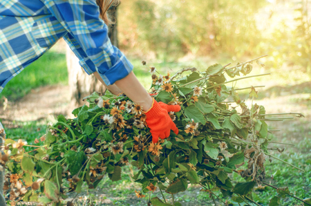 Woman gardener cleans branches leaves in the garden, sun nature
