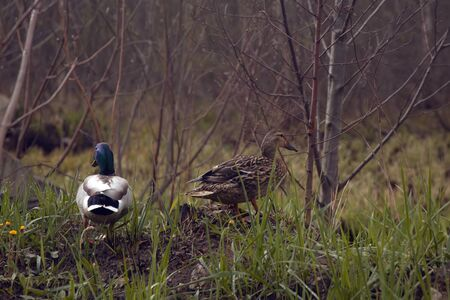 Duck family with duck chicks. Moscow park 2020.