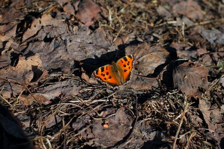 dode bladeren: oranje schildpad vlinder vanessa urticae zittend op dode bladeren in de lente