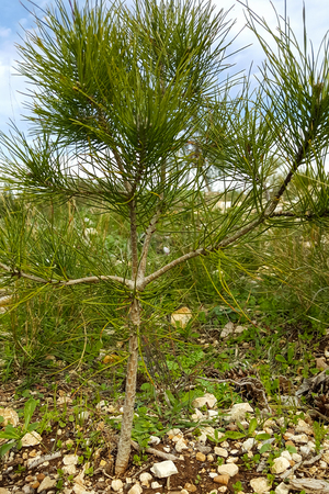 A young small seedling of an evergreen conifer grows among pebbles
