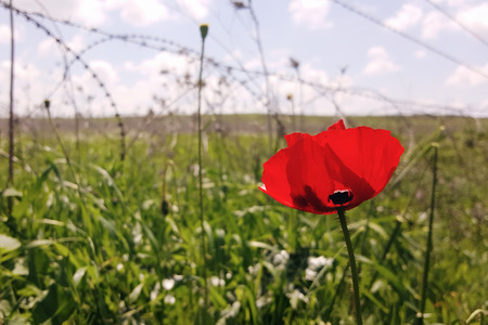 Red flower on the background of barbed wire. Abstract concept fallen warrior in the war Stock Photo