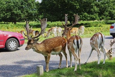 Family dappled deer graze grass near road. Forest park in UK Stock Photo