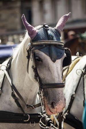 jornada de trabajo: Fiaker del caballo cansado despu�s de un largo d�a de trabajo. Foto de archivo