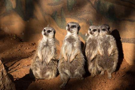 company: A Company of Meerkats